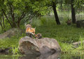 Fox and kit on a river rock with sibling looking from the background Royalty Free Stock Photos
