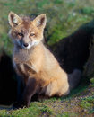 Fox kit sitting at den young red sits site Royalty Free Stock Photos