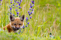 Fox kit & wild flowers. Stock Photo