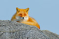 Fox lying on the fishing net with blue sky. Red Fox, Vulpes vulpes, beautiful animal in the nature habitat, evening sun with nice Royalty Free Stock Photo