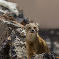 Fox mongoose a curious sits between stones Royalty Free Stock Images