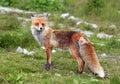 Fox In Nature