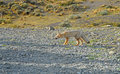 Fox in Patagonia Royalty Free Stock Photo