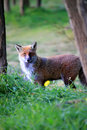 Fox this is photo of on etna sicily Stock Photography