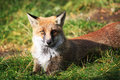 Fox this is photo of on etna sicily Stock Image