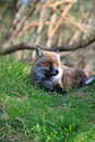 Fox this is photo of on etna sicily Royalty Free Stock Photography