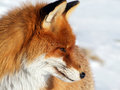 Fox Portrait Stock Image
