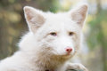 Fox. portrait. a cunning face. the color is white. Royalty Free Stock Photo