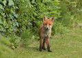 Fox pup view of a looking into the camera Royalty Free Stock Image