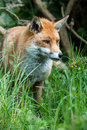 Fox red in long green grass Stock Image