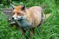 Fox red in long green grass Stock Photo