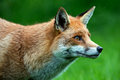 Fox red in long green grass Stock Photos