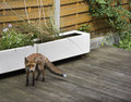 Fox in a residential garden during the day Royalty Free Stock Photo