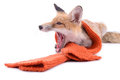 Fox with scarf red a new year or christmas animal isolated on white background Stock Photos