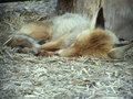 Fox sleeps asleep at the yalta s zoo crimea Stock Images