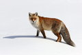Fox on the snow white Stock Image
