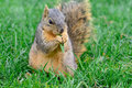Fox squirrel calmly sitting eating a piece of green graass fluffy cute chewing on grass watching Stock Image