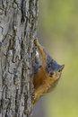 Fox squirrel with comical curious inquisitive expression while hanging on side of tree funny looking straight forward as it hangs Royalty Free Stock Photos