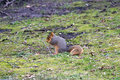 Fox squirrel in the grass squirrels vary color from dark orange to orange gray top of its ears are lighter color than rest they Stock Photography