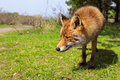 Fox stay the in action in the park Royalty Free Stock Image