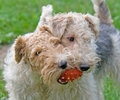 Fox terrier 6 Royalty Free Stock Photography
