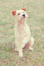 Fox terrier dog sitting in the grass Stock Photography