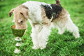 Fox terrier eating from metal cup on green lawn Stock Image