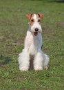 Fox terrier show dog of breed on a natural background Stock Photography