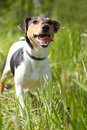 Fox Terrier (Smooth) Stock Images