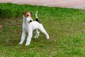 Fox terrier the stands in the park Stock Images