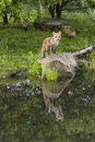 Fox with two kits red posing on a rock while play in the background Stock Photos