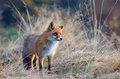 Fox in the wildlife on field Royalty Free Stock Photos