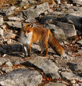 Fox wildlife nature rusty wild on the trail in the mountains Royalty Free Stock Images