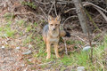 Fox in the Woods in Santa Cruz Province, Argentina Royalty Free Stock Photo