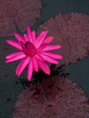 Foxfire tropical water lily brilliant pink floating among dark burgundy leaves nymphaea Royalty Free Stock Images
