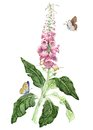 Foxglove Royalty Free Stock Photo