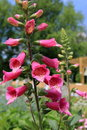 Foxglove blooms in midsummer and adds elegance to a perennial border Royalty Free Stock Image