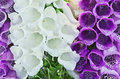 Foxglove detail brightly flowering Stock Images