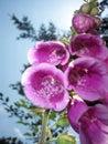 Foxglove (digitalis purpurea) Stock Image