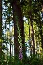 Foxglove digitalis purpurea detail of Royalty Free Stock Images