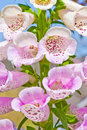 Foxglove flower Stock Photos