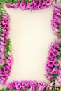 Foxglove Flower Border Royalty Free Stock Photo