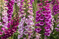 Foxglove flowers Royalty Free Stock Photo