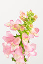Foxglove flowers top view bird s eye of pink bloom spike digitalis berry canary Stock Image