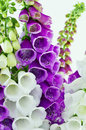 Foxglove isolated detail brightly flowering Stock Images