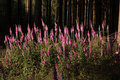 Foxglove plants on forest clearing Royalty Free Stock Image