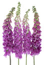 Foxglove studio shot of purple colored flowers isolated on white background large depth of field dof macro Stock Image