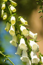 Foxglove white rare and deadly flowers digitalis in a garden in summer Royalty Free Stock Image