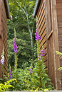 Foxgloves common digitalis purpurea growing between two sheds Royalty Free Stock Photography