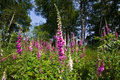 Foxgloves a field with white and purple Royalty Free Stock Images